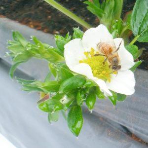 いちごの花と蜜蜂